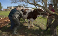 Spanish vets treat 20,000 cattle in 10 days